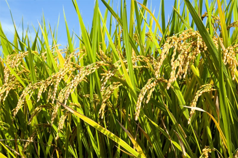 paddy_harvest.jpg