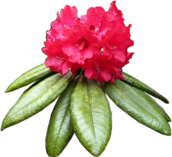 maha rathmala - Provincial Flower of Central Province